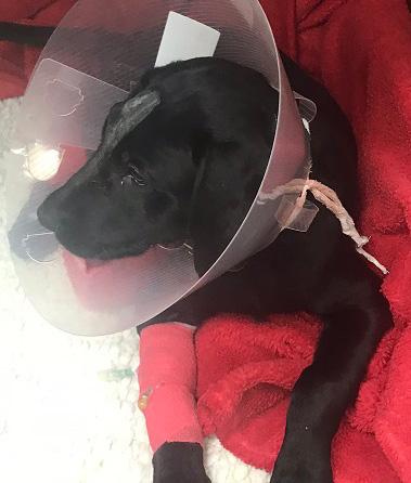 nigel-the-black-labrador-puppy